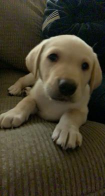 My lab puppy